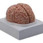 Brain with Arteries, 2 Parts - code: 6160.01