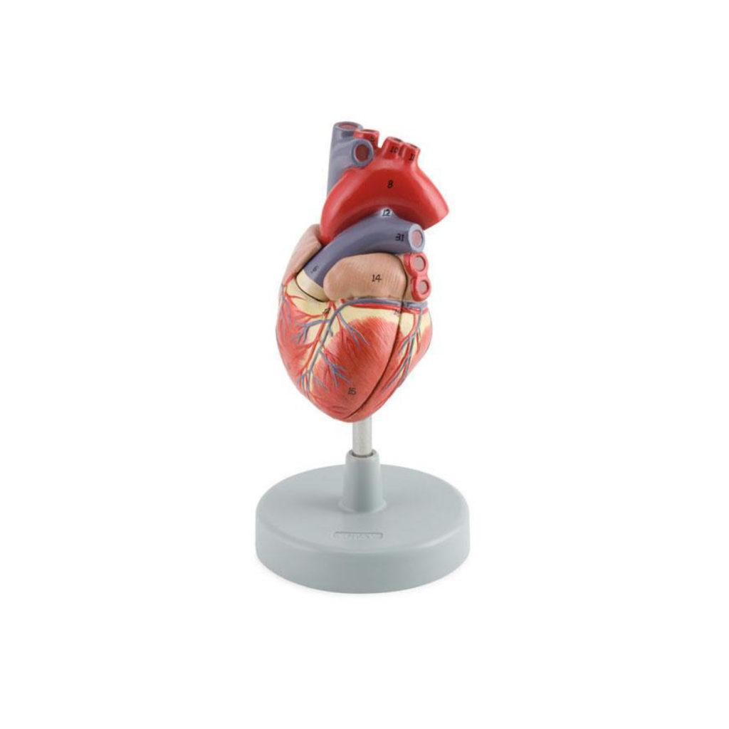Heart-Cyrculatori System_Tavola disegno 1
