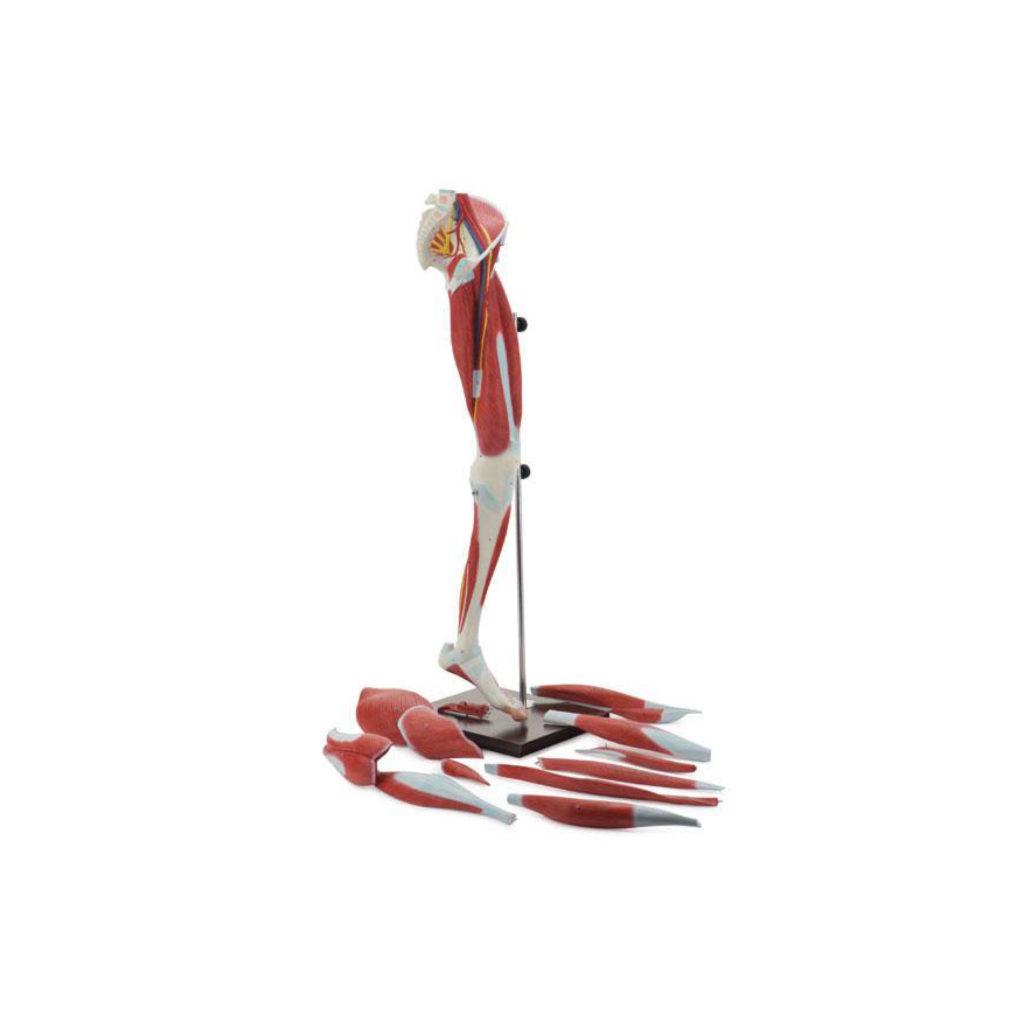 Musculature_Tavola disegno 1