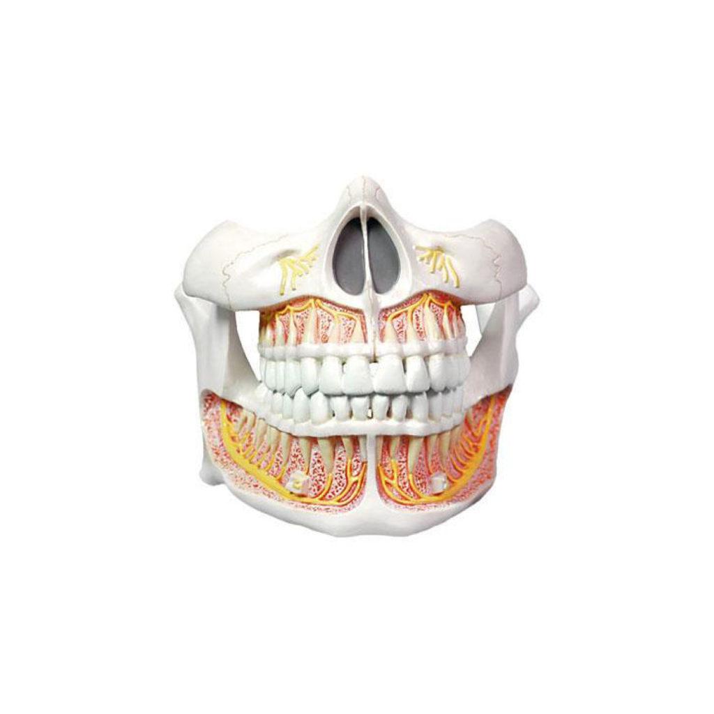 Teeth_Tavola disegno 1