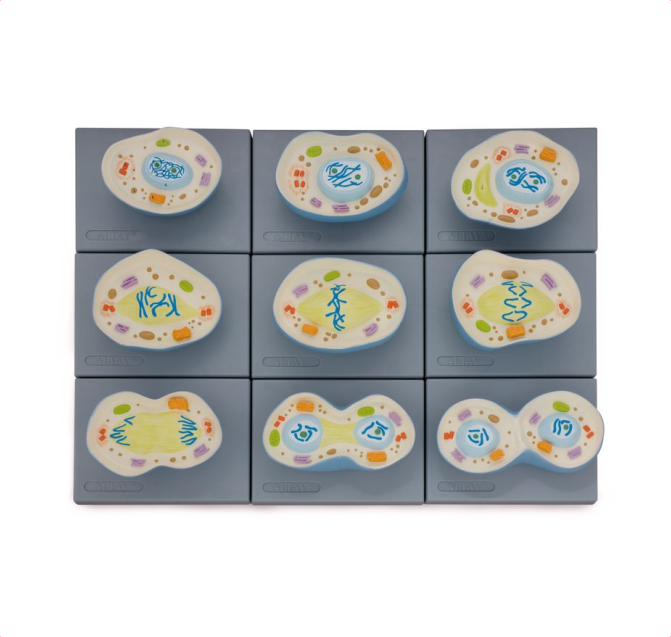 Cell Mitosis Model - code: 6232.02 rect