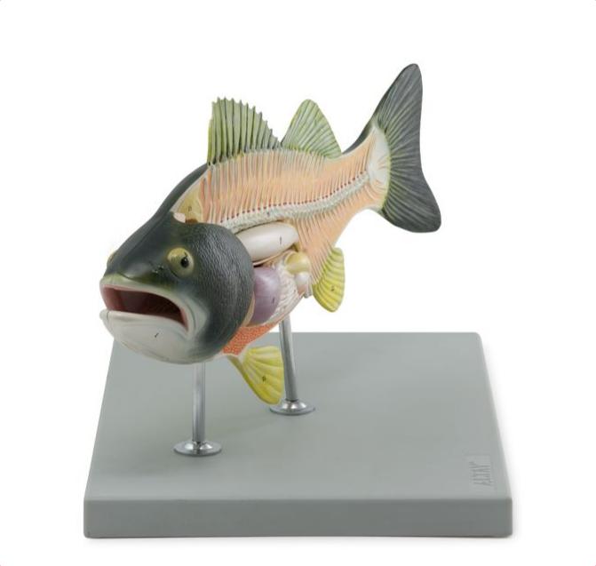 Fish Model - code: 6280.51 rect