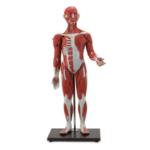 Muscular Figure, 30 Parts - code: 6000.56