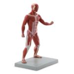 Muscular Body - code: 6000.58