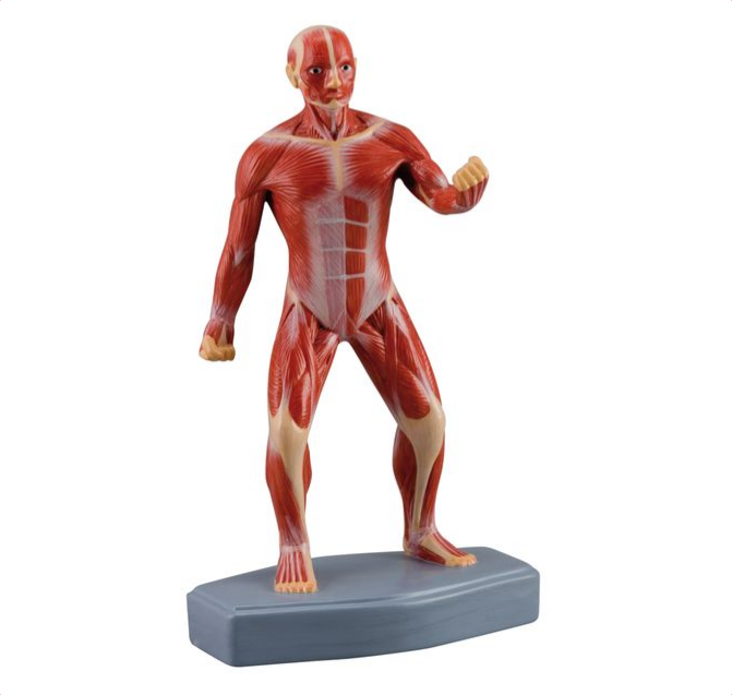 Mini Muscular Figure - code: 6000.57 rect