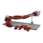 Muscle of the Human Arm, 7 parts - code: 6000.31
