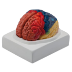 Regional Brain, 2 Parts - code: 6160.10