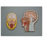 Frontal and Median Section of Head (Relief Model) - code: 6030.02