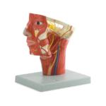 Arteries of Head - code: 6030.07