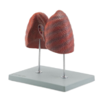 Left and Right Lung - code: 6120.07