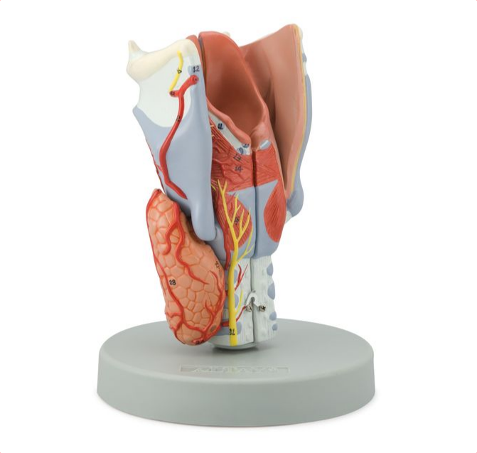 Larynx Model, 2 Times Enlarged, 5 Parts - code: 6120.11 rect
