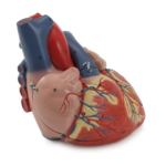 Human Heart, 4 Parts, 2X life size - code: 6070.17