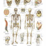 The Human Skeleton Anatomical Wall Chart - code: 6700.00