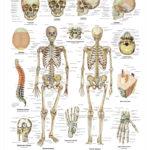 The Human Skeleton Anatomical Wall Chart - code: 6700.00