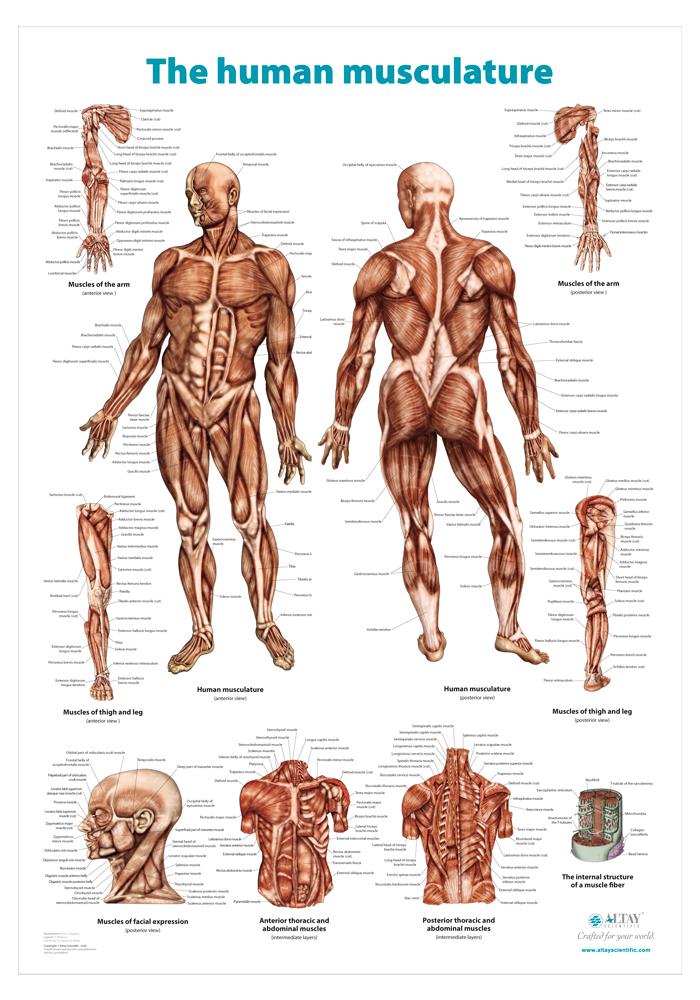 02_The_human_muscolature_r4_en