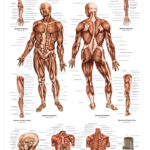 The Human Musculature Anatomical Wall Chart - code: 6701.00