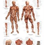 The Human Musculature Anatomical Wall Chart - code: 6701.00