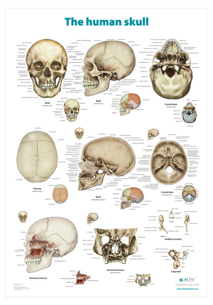 03_The_human_skull_r4_en