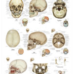 The Human Skull Anatomical Wall Chart - code: 6702.00