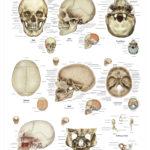 The Human Skull Anatomical Wall Chart - code: 6702.00