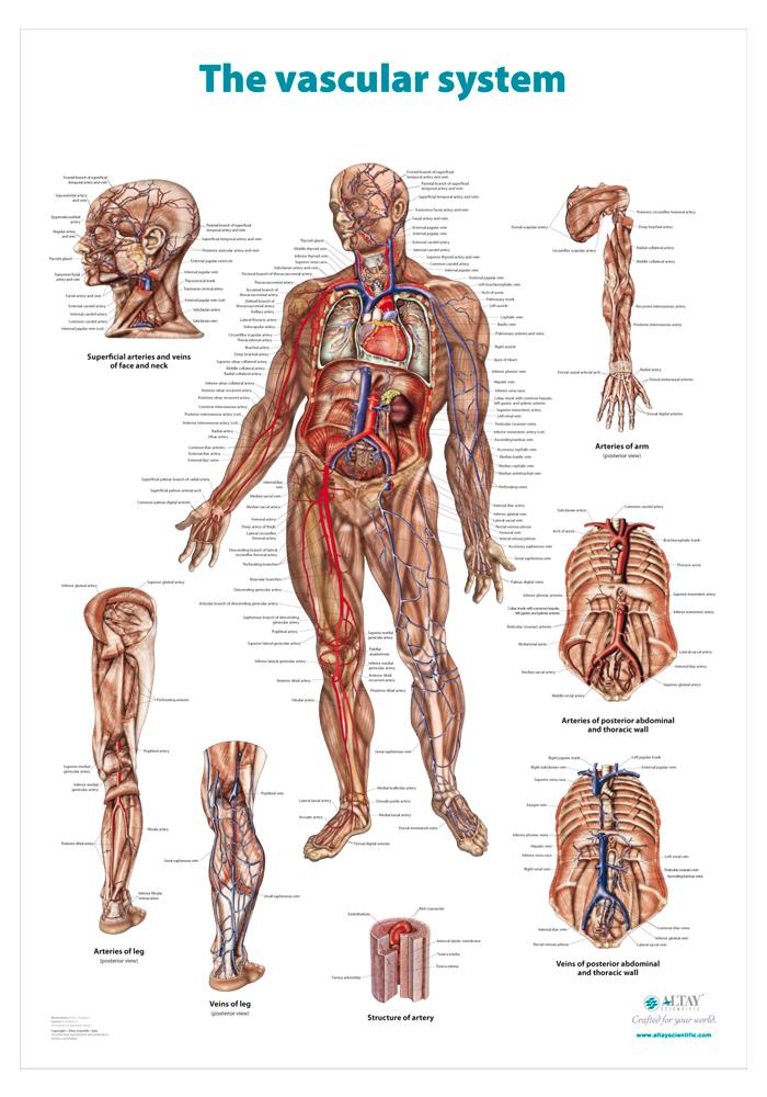 04_The_vascular_system_r4_en