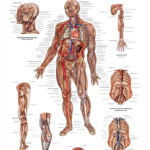 The Vascular System Anatomical Wall Chart - code: 6703.00