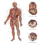 The Lymphatic System Anatomical Wall Chart - code: 6704.00
