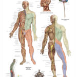 The Nervous System Anatomical Wall Chart - code: 6705.00