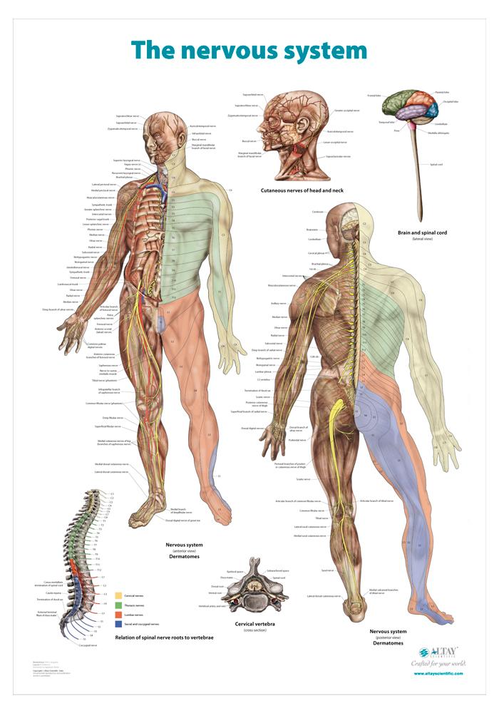 06_The_nervous_system_r4_en