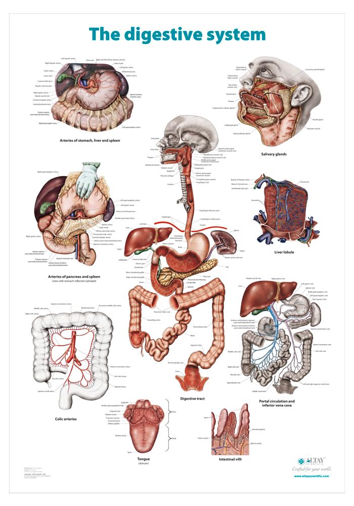07_The_digestive_system_r4_en