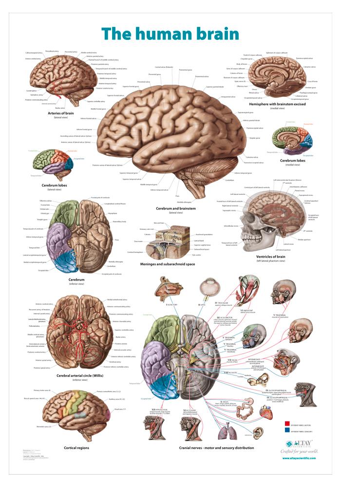10_The_human_brain_r4_en