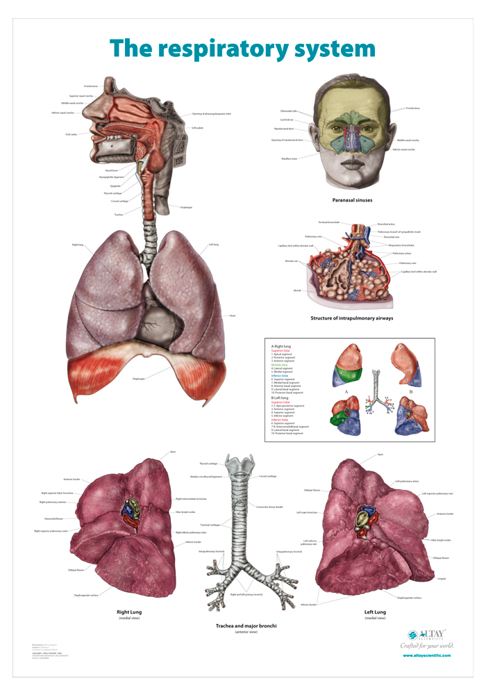 11_The_respiratory_system_r4_en