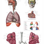 The Human Respiratory System Anatomical Wall Chart - code: 6710.00