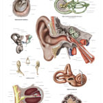 The Human Ear Anatomical Wall Chart - code: 6712.00
