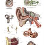 The Human Ear Anatomical Wall Chart - code: 6712.00