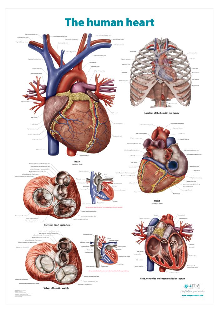 13_heart_r4_en