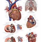 The Human Heart Anatomical Wall Chart - code: 6711.00