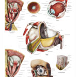 The Human Eye Anatomical Wall Chart - code: 6713.00