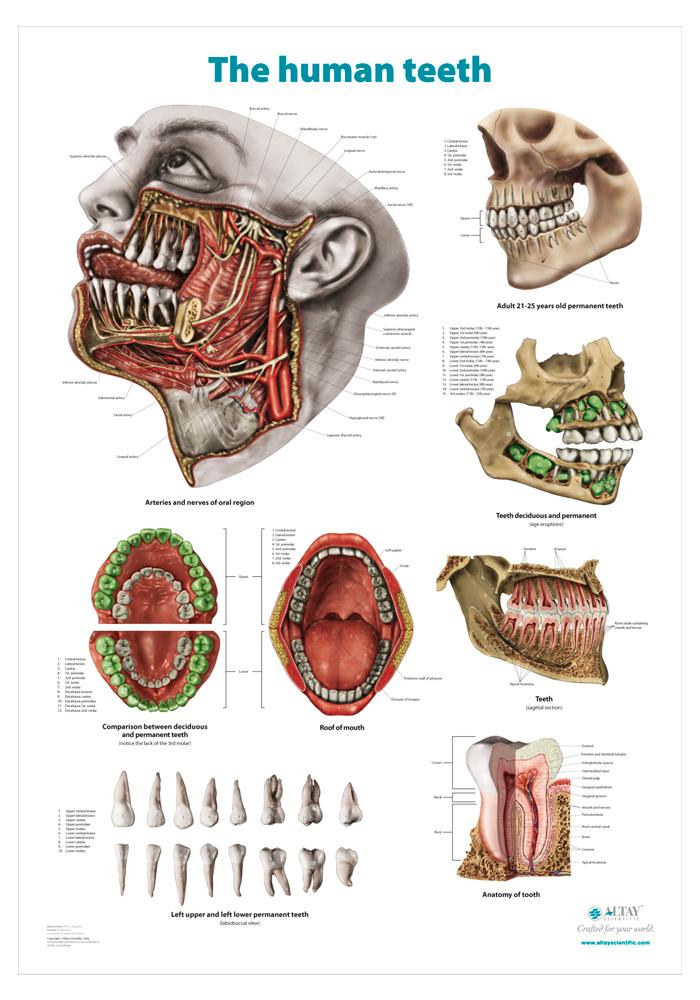 15_teeth_r4_en