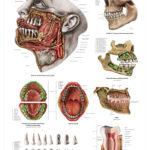 The Human Teeth Anatomical Wall Chart - code: 6714.00