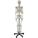 Human Skeleton - code: 6041.02