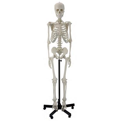 human skeleton 6041.02