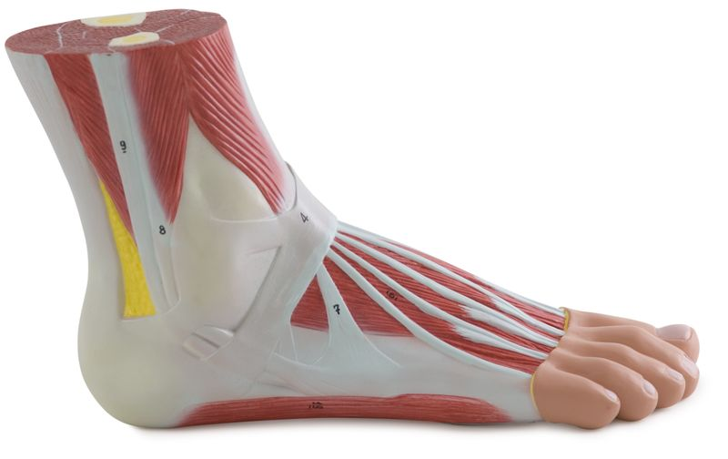Muscles of the Foot - code: 6000.12