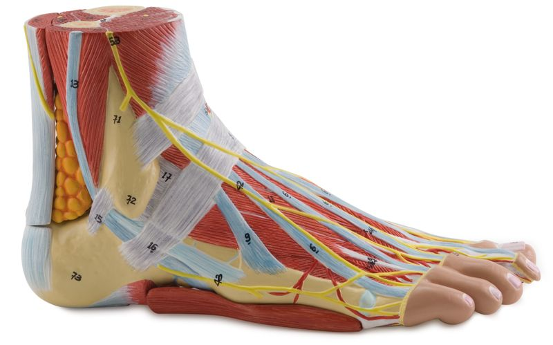 Anatomy of the Foot - code: 6000.35 a