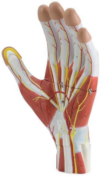 Anatomy of the Hand, 3 Parts - code: 6000.37 a