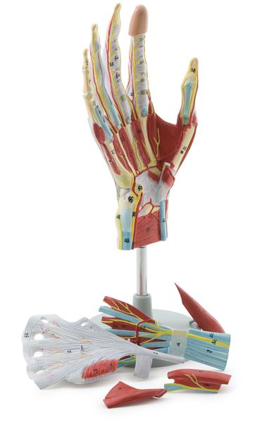 Regional Anatomy of the Hand, 7 Parts - code: 6000.38 a