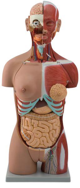 Muscular Torso Dual-Sex Open Back, 28 Parts - code: 6000.53 b