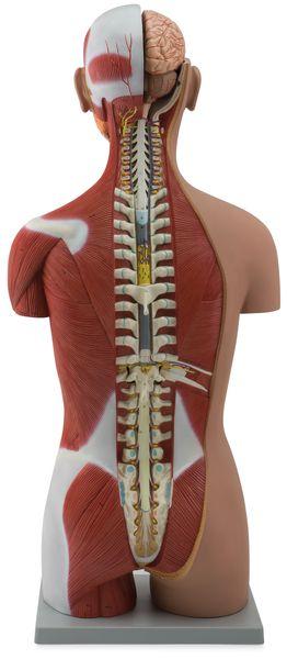 Muscular Torso Dual-Sex Open Back, 28 Parts - code: 6000.53 d