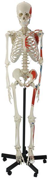 Human Muscular Skeleton – code: 6041.03