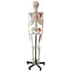 Human Muscular Skeleton - code: 6041.03